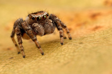 Jumping spider on the yellow autumn leaf