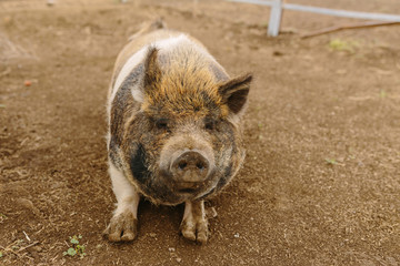 Portrait of a Barnyard Pig