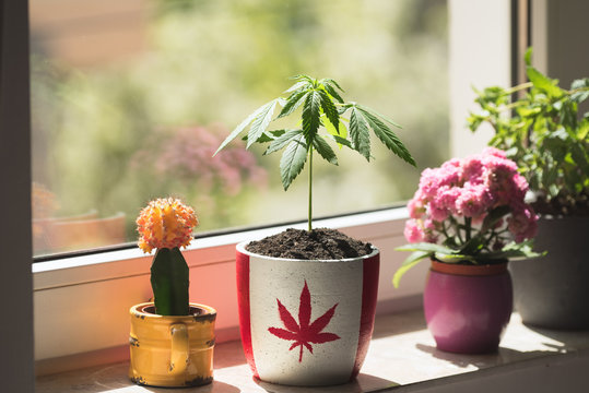 Potted marijuana symbolizing its legal use in Canada