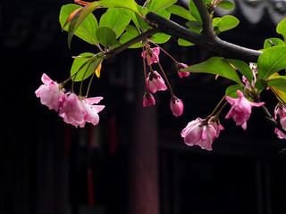 Pink cherry blossoms on a branch against dark background in classical Chinese garden
