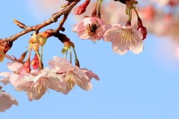 Wall Mural - 桜の花とミツバチ