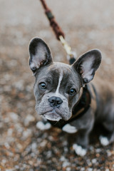 Adorable french bulldog puppy on a leash