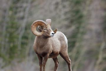 Tamerack Ram