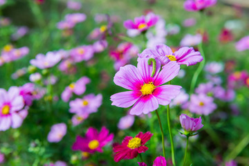 blooming pink flower in the garden, Cosmos field in Thailand