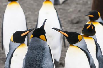 King Penguins (Aptenodytes patagonicus), Salisbury Plain, South Georgia.