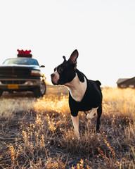 Boston Terrier Morning in Colorado