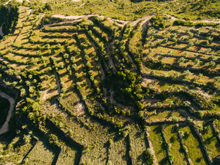 Aerial view of olive trees.