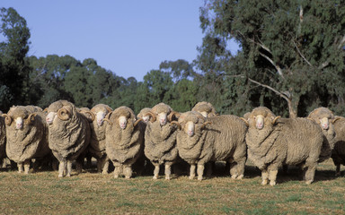 Stud Merino rams, New South Wales, Australia.