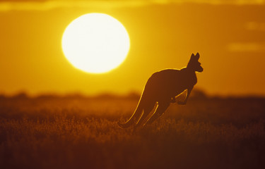 Photo sur Plexiglas Kangaroo .Kangaroo in Sunset in Sturt National Park in the far west of NSW