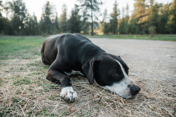 A tired dog resting on the ground.