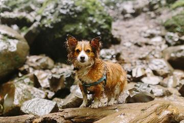 Papillon Dog on Rainy Hike