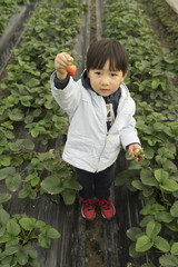 Young Chinese boy holding a strawberry in the farm