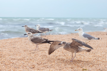 Group of attractive big seagulls on the beach