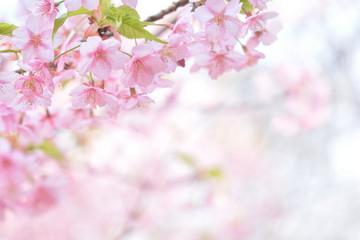 桜の花 河津桜