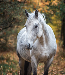 Portrait of an Arabian horse.