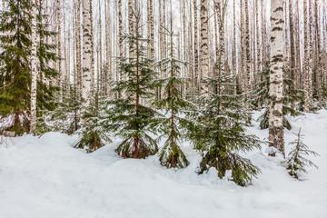 Birch forest is in winter