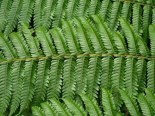 Close up fern leaves.