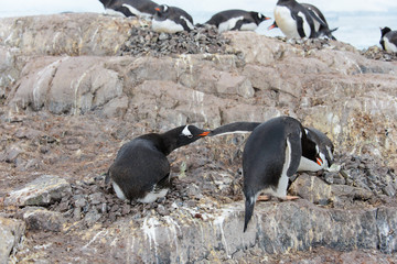 Gentoo penguin catch another by beak