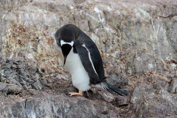 Gentoo penguin on rock