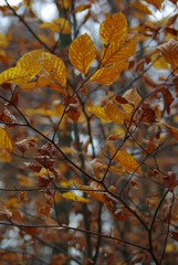 Beech leaves in autumn in the forest