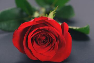 selective focus of beautiful tender rose flower on grey