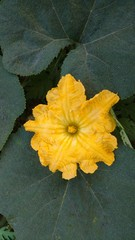 pumpkin flower or cucurbita pepo flower