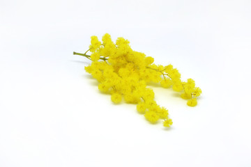 Mimosa, flower symbol of the woman celebrating the 8th of March