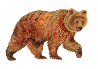 Brown bear .Watercolor illustration on white isolated background