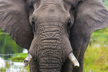 Close up of  Elephant Head Broken Tusk and Trunk