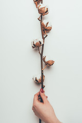 partial view of person holding cotton flowers on twig isolated on grey