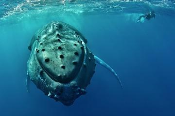 Humpback whale (Megaptera novaeangliae) with diver, Silver Banks, Dominican Republic, Central America