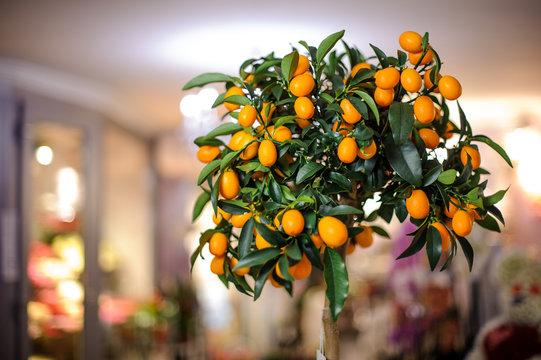 Small lushy lemon tree with yellow lemons in the pot