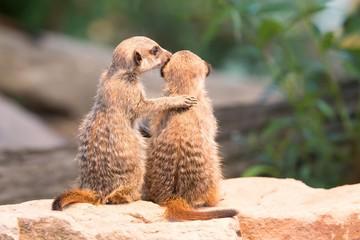 Two Meerkats (Suricata suricatta), young, captive