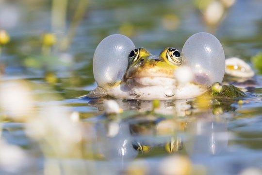Edible frog (Pelophylax esculentus) in water, vocal sac, Hesse, Germany, Europe