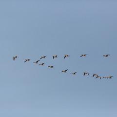 gray goose (anser anser) birds flying in V-formation during migration, blue sky