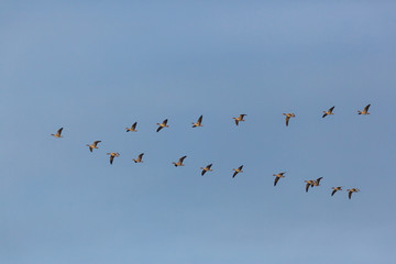 gray geese (anser anser) birds flying in V-formation during migration, blue sky