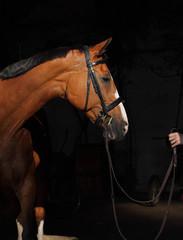 Bay thoroughbred stallion in dark background