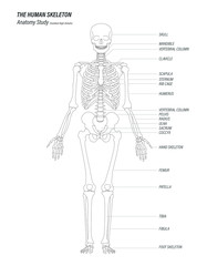 the human skeleton anatomy study concept black linear high details design