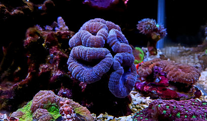LPS coral in reef aquarium tank