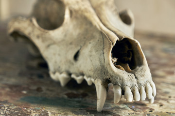 Dog scull without a lower jaw