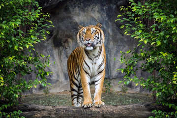 Tiger is standing in the forest atmosphere.