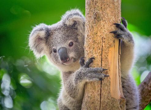 Koala is on the tree.