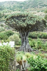 Alter Drachenbaum, Spanien, Teneriffa, berühmt, Denkmal