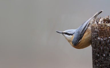 A bird - nuthatch in a characteristic pose sits on the feeder
