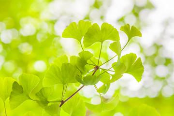 Ginkgo Leaves in Light / Fresh green leaves of Ginkgo tree (copy space)
