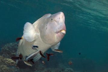 Humphead parrotfish (Bolbometopon muricatum) near Sipadan Island, Malaysia