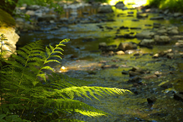 Leaves of fern with a forest brook on background