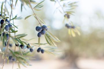 Spanish olive grove, branch detail. Raw ripe fresh olives growing in mediterranean garden ready to harvest, soft focus.