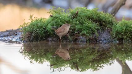 Wren bird at waterside