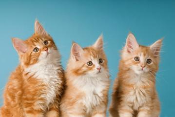 Drei Maine Coon Kätzchen auf blauem Hintergrund